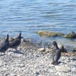 Голуби на галечном пляже в Анапе