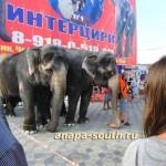 Слонихи, выступающие в «Интерцирке»