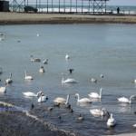 Лебеди в Анапе