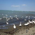 Лебеди на пляже Анапы